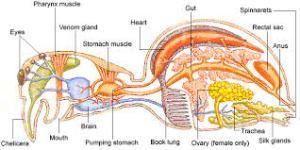 theodora the chilean rose hair tarantula creaturekeen : rose hair tarantula diagram - findchart.co