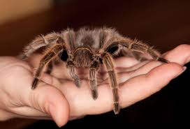Theadora the Tarantula